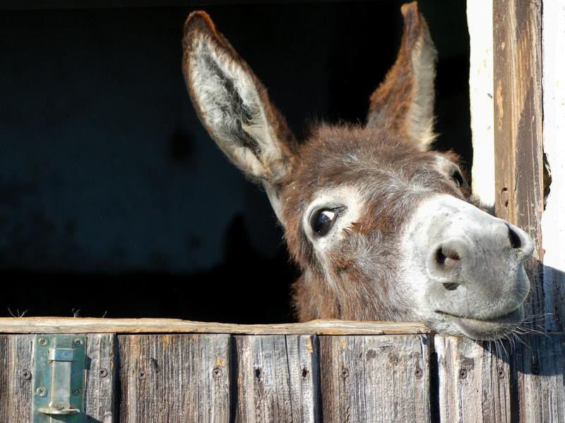 Weird US Laws About Donkeys