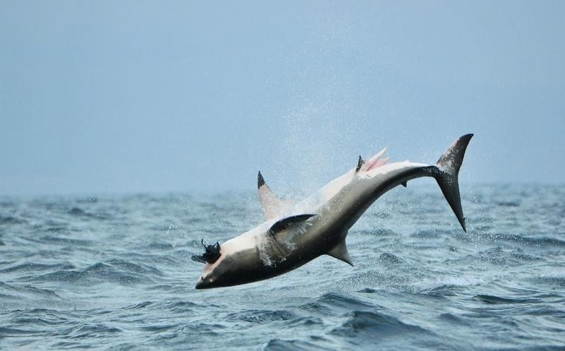 Great white shark jumping out of the water
