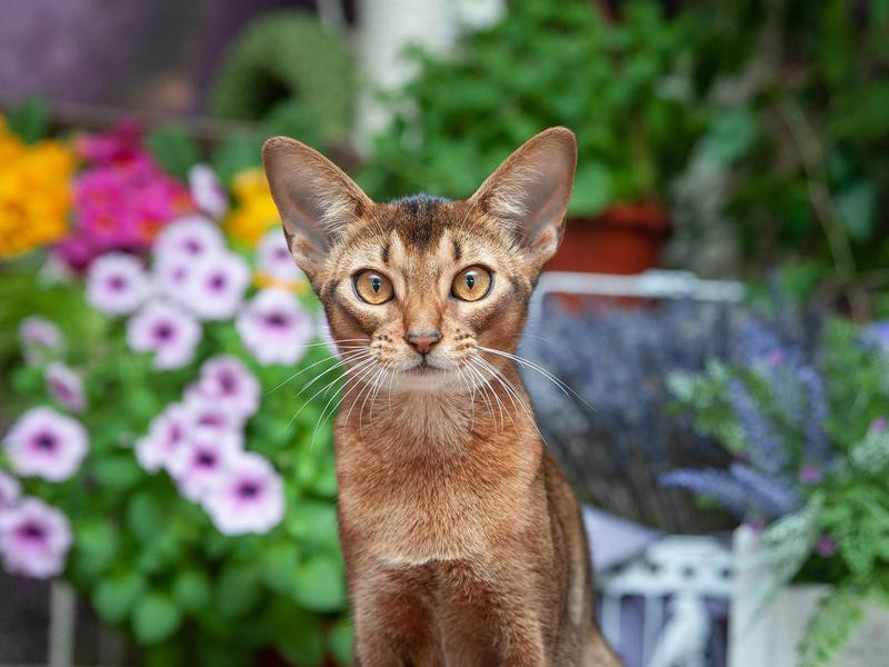 Abyssinian nice cat breed