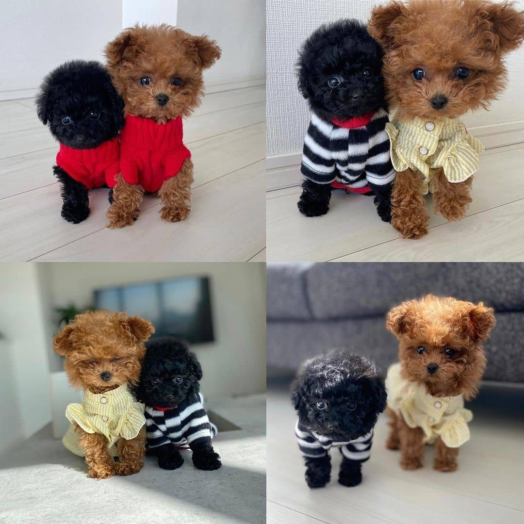 Toy poodles wearing sweaters