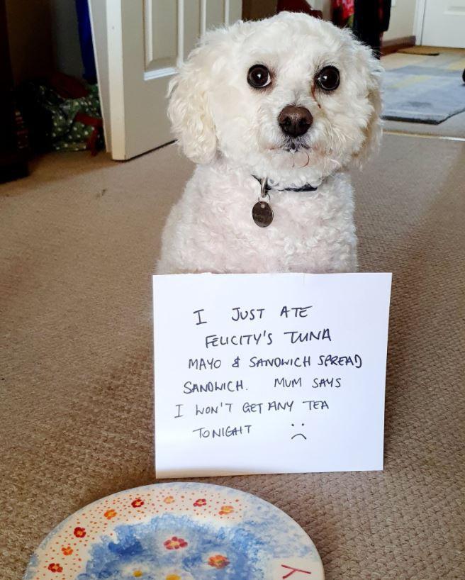 Guilty Bichon dog