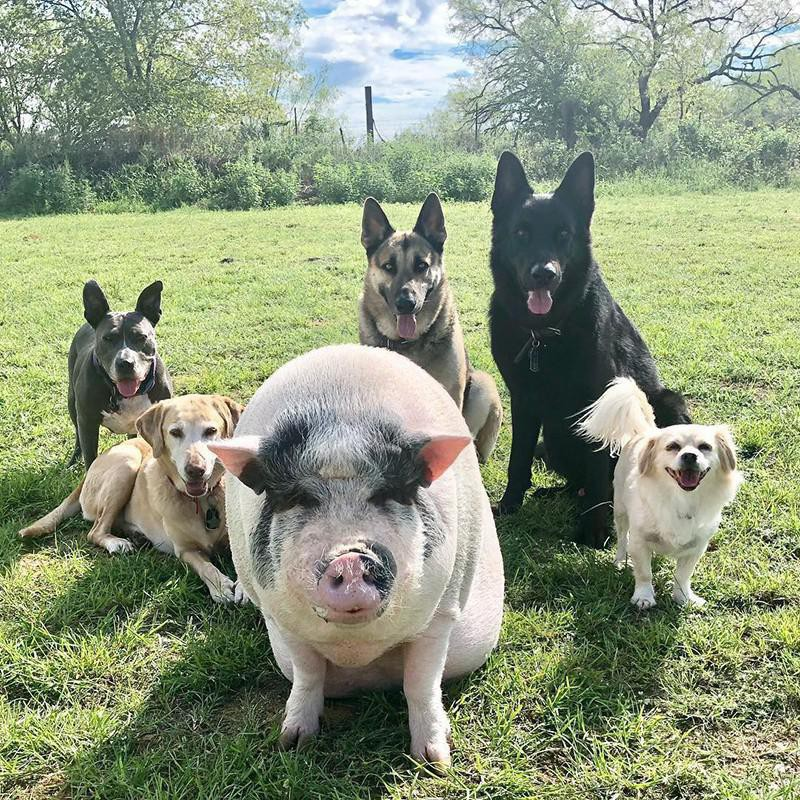 Pig and pack of dogs