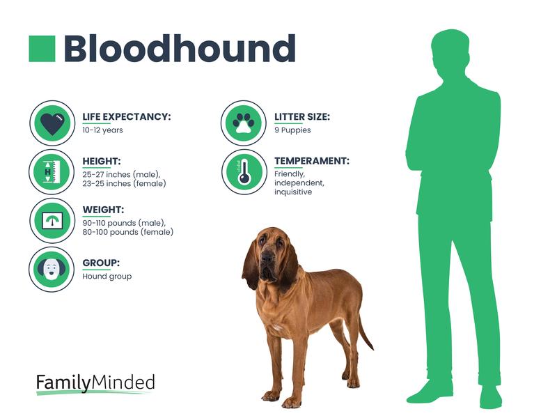 Bloodhound breed