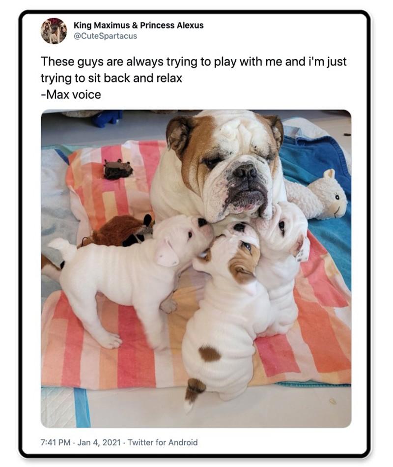 Bulldog and puppies