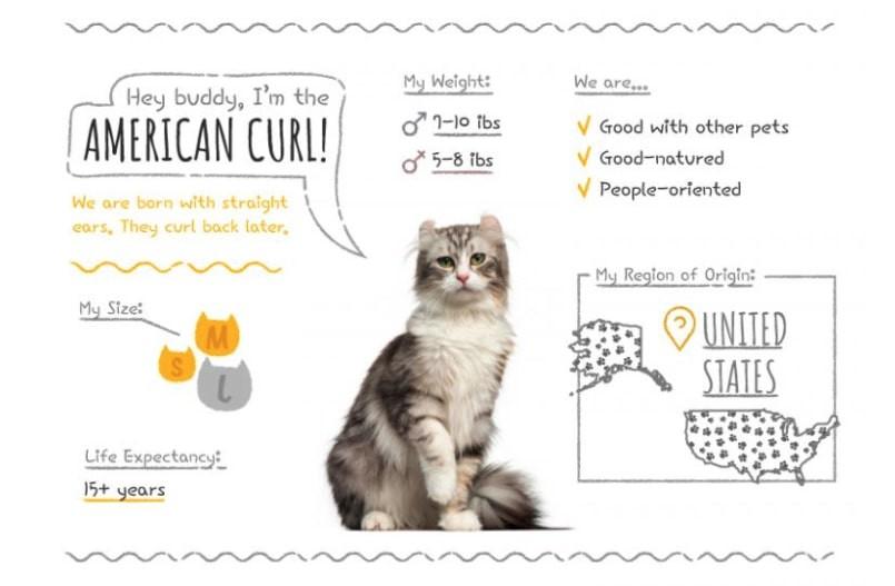 American Curl Summary