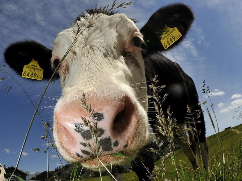 Cow in Austria