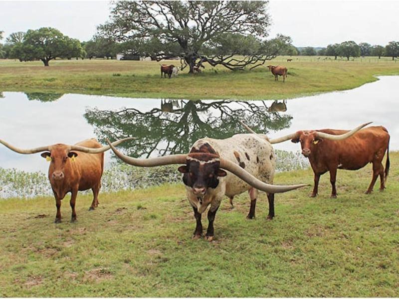The Bull With the Longest Horn Spread