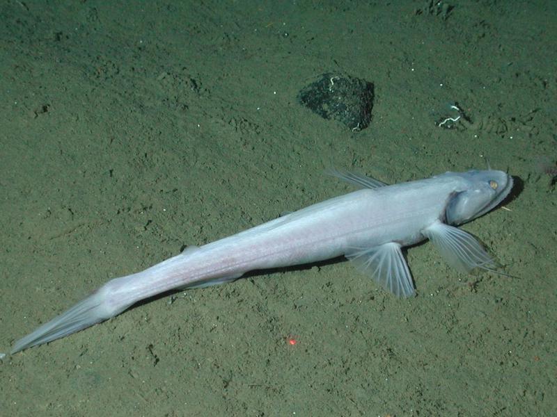 Creepy Highfin Lizardfish