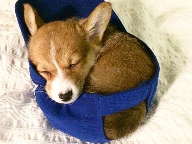 Corgi puppy sleeping