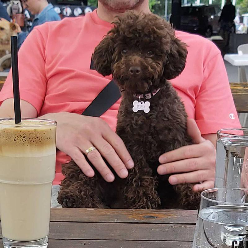 Cute poodle sitting on owners lap