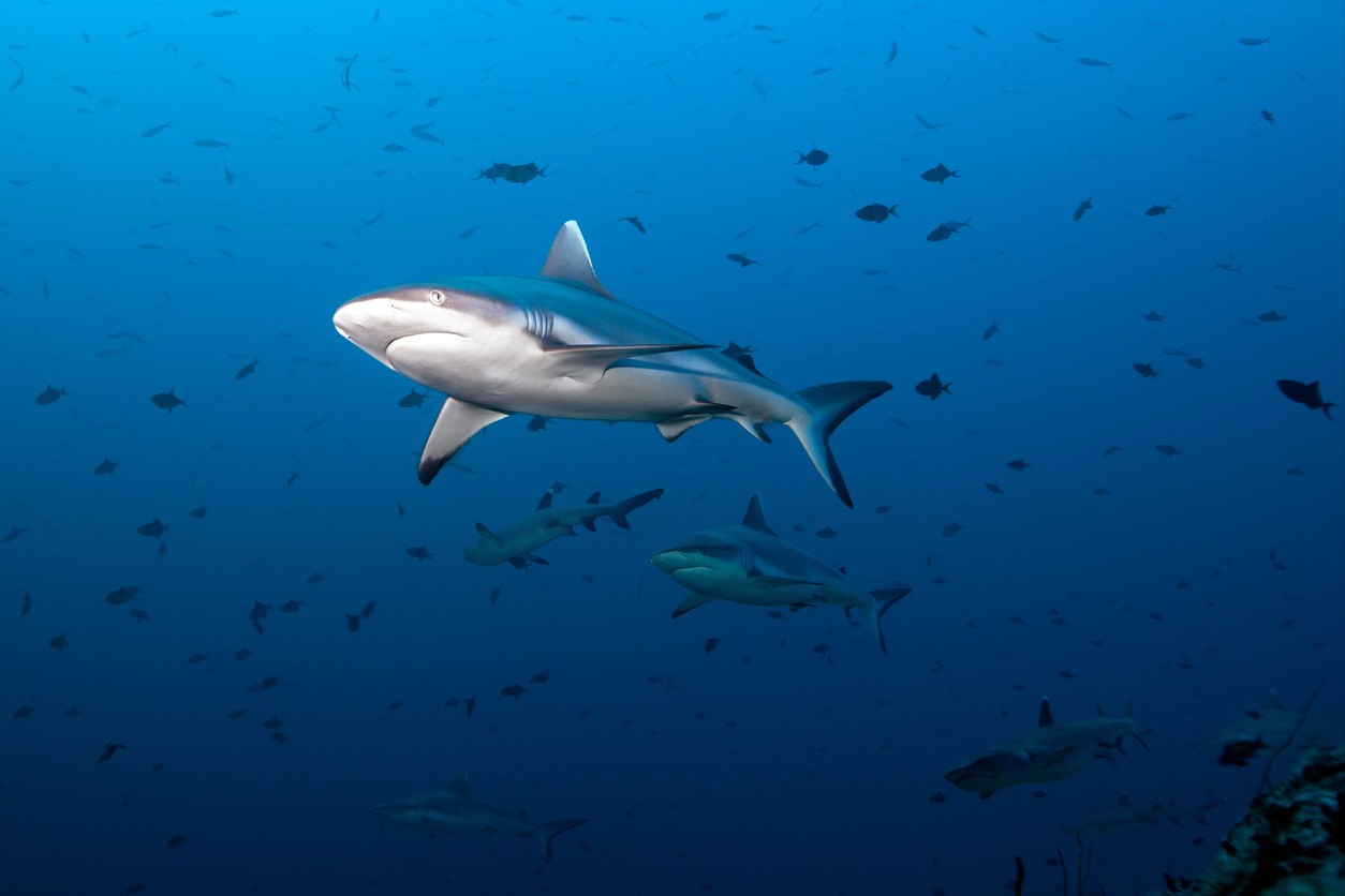 A gray reef fin shark swimming in the ocean