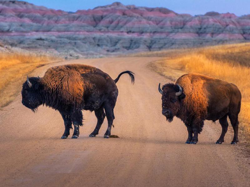 Bison at Badlands National Park, South Dakota