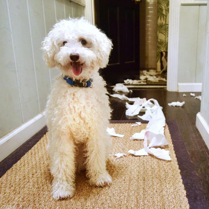 Poodle making a mess