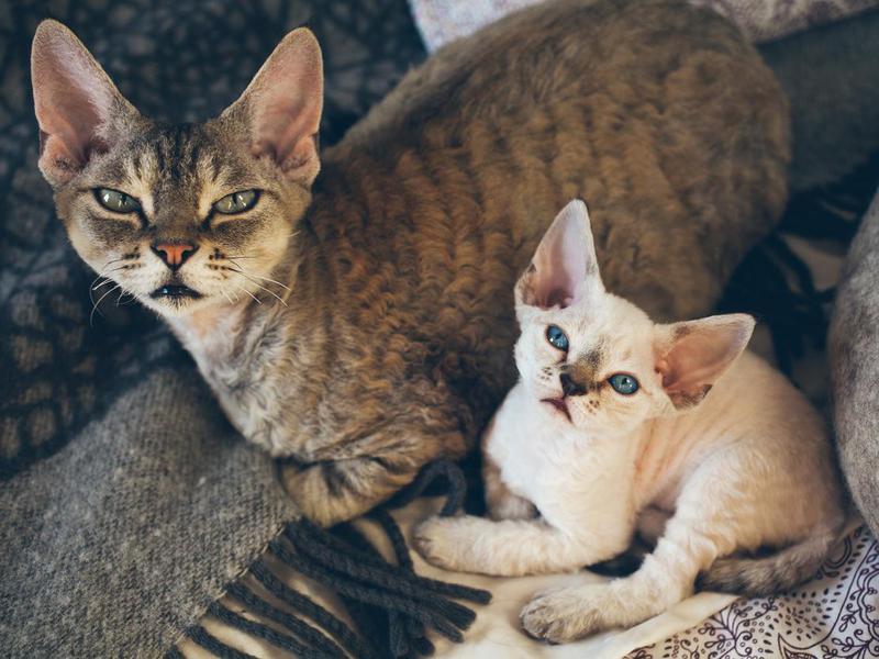 Mother and kitten Devon Rex