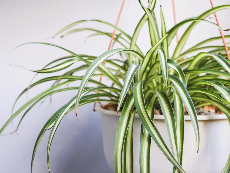 Spider plant in white pot
