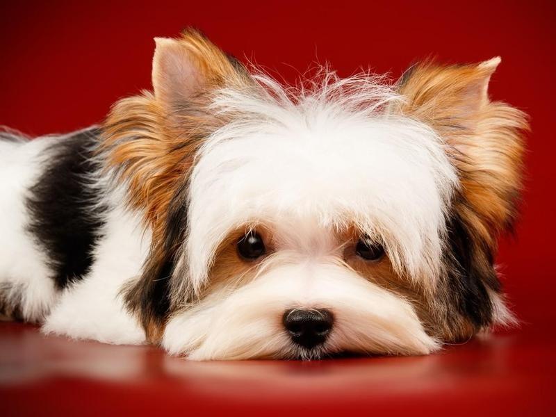 The Parent Club in the U.S. Is the Biewer Terrier Registry of America
