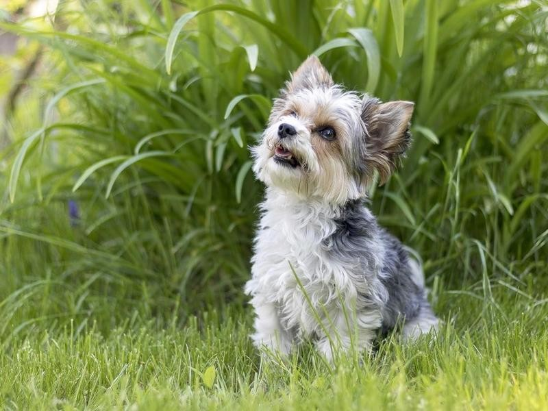 Biewer Terriers Are Very Short