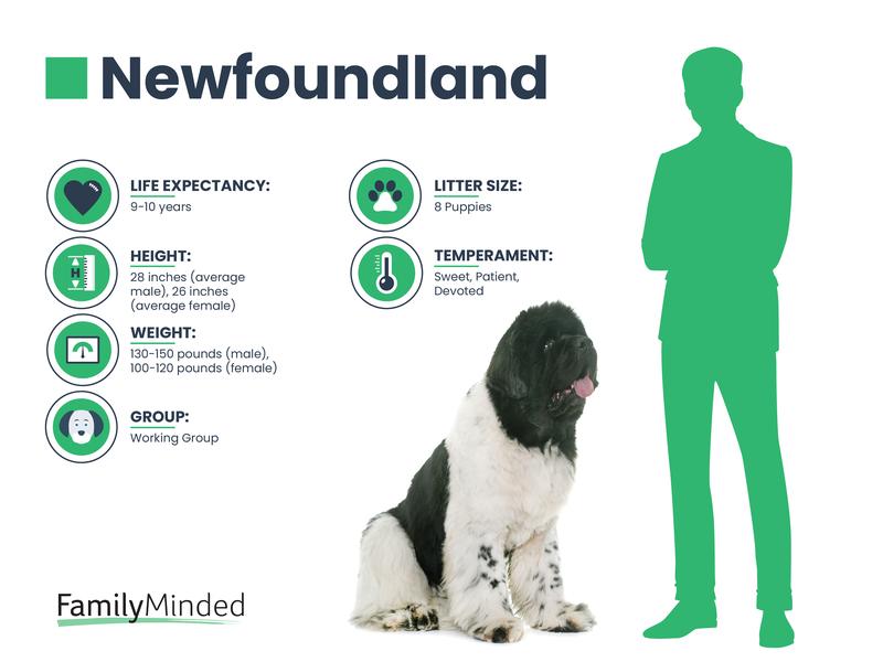 Newfoundland breed