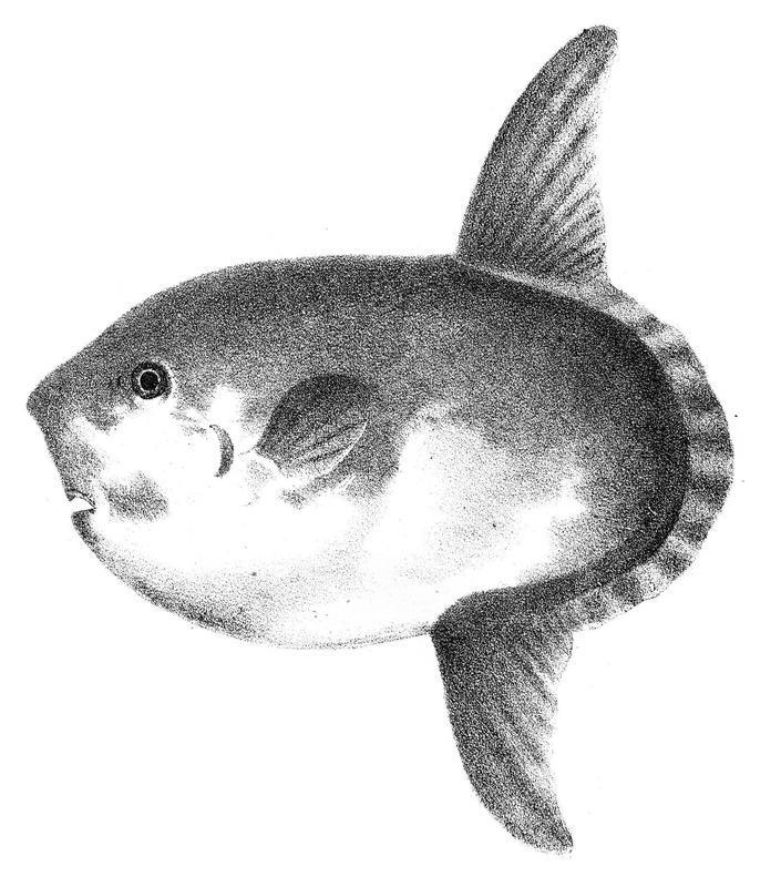 Sharptail Mola Engraving