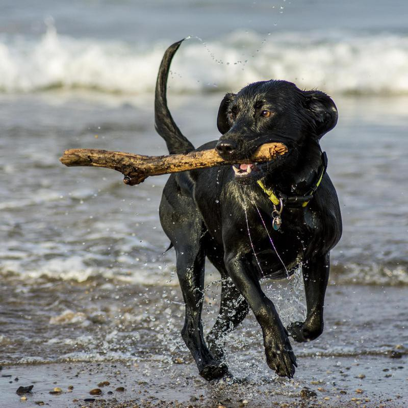 Labradors often love to play fetch.