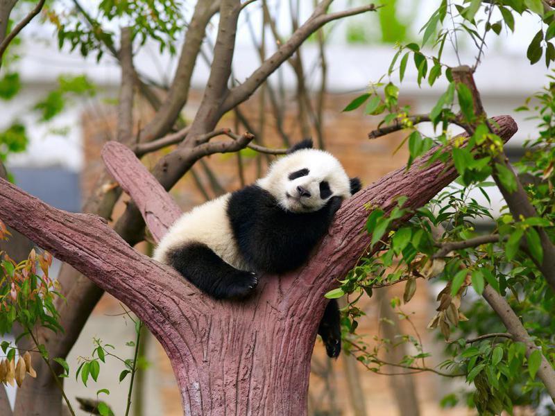 How do panda bears sleep?