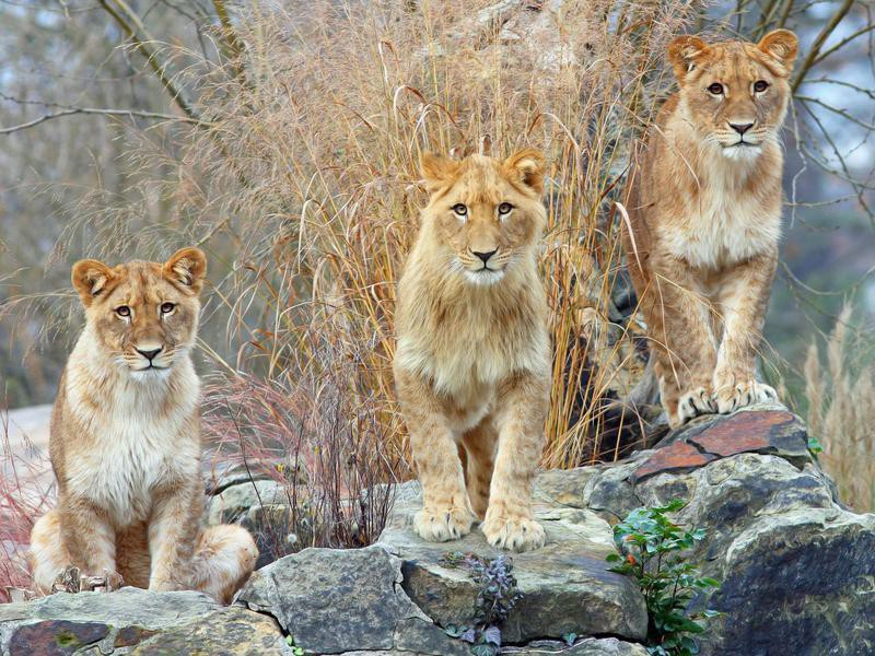 Lions at Zoo Berlin