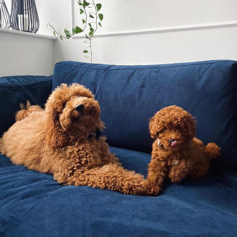 Two poodles snuggling on a couch