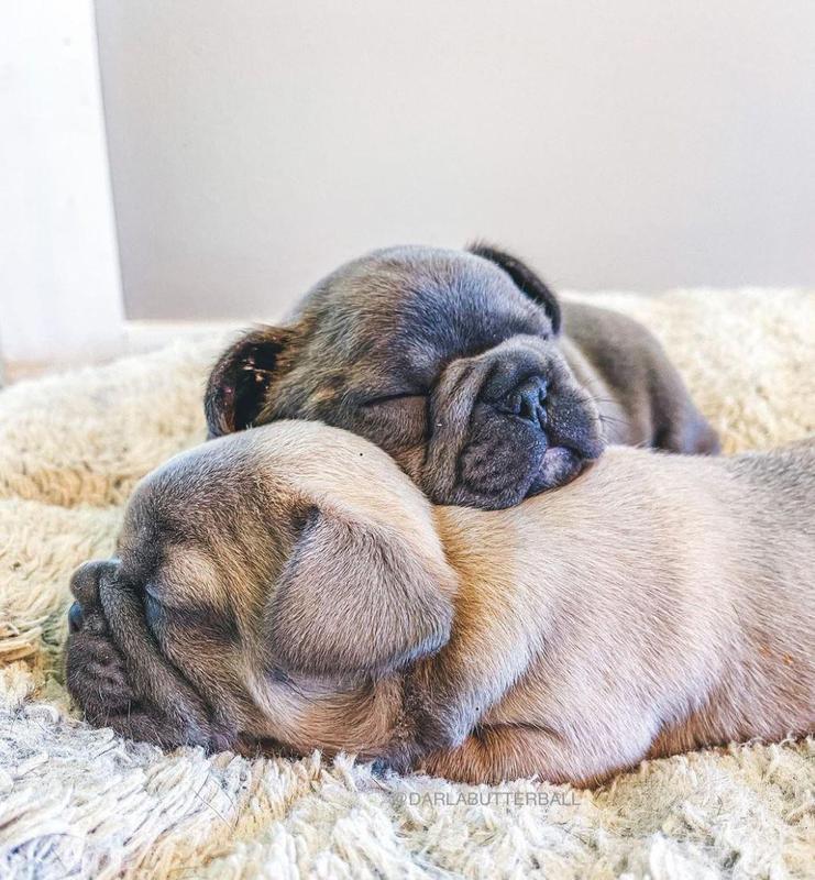 Two sleeping French bulldogs