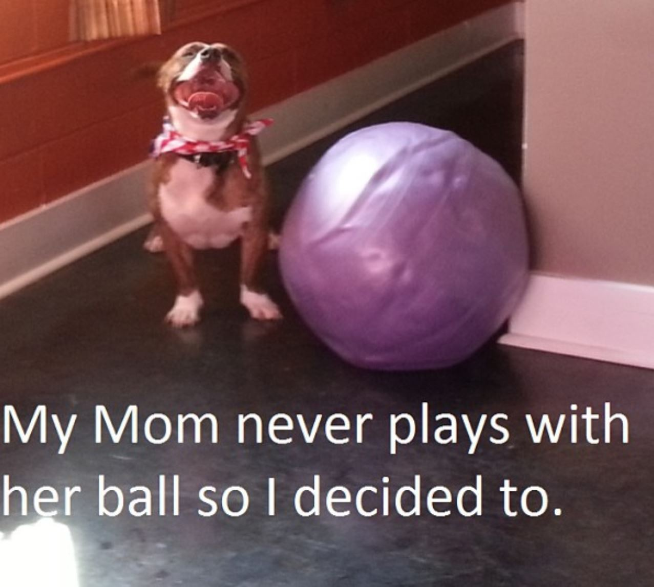 Pitbull with defalted ball