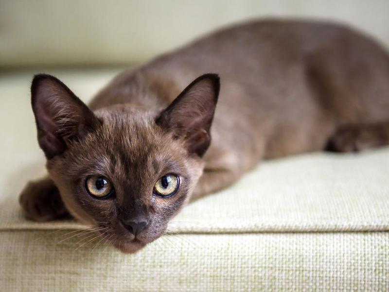 Burmese kitten on couch