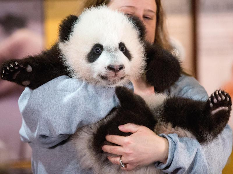 How much do panda nannies get paid?