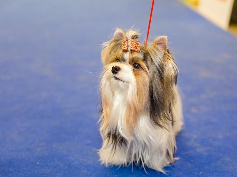 The Biewer Terrier Was Created Using Science Instead of Pedigree