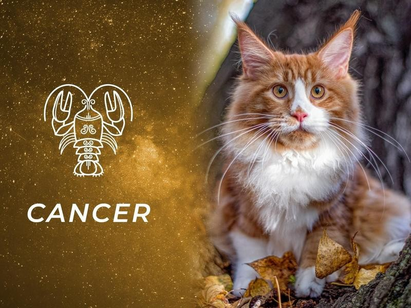 Cancer: Maine Coon