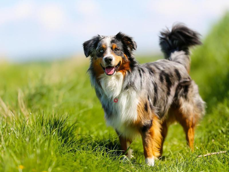 Pedigree Dogs Are Better Behaved — Debunked