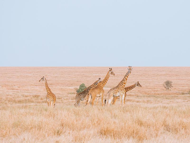 Giraffes Explore the Plains