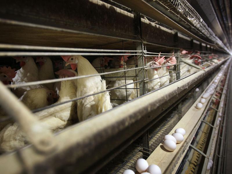 Chickens in Iowa