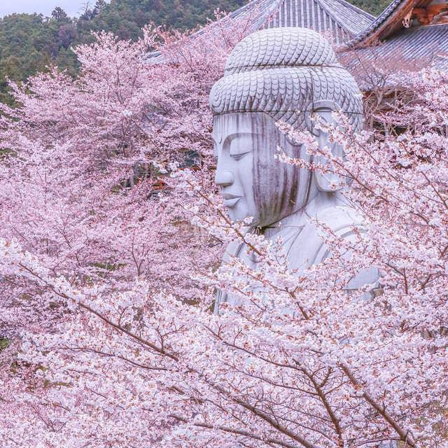 Cherry blossoms in the Nara temple
