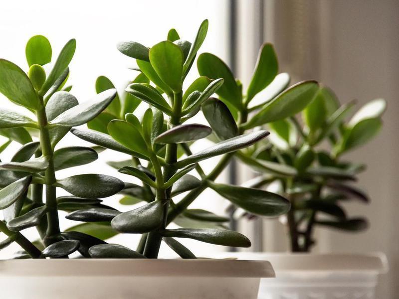 Succulent houseplant Jade Crassula
